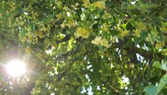 Lime-tree branches with blooms in the country, sun rays Stock Footage