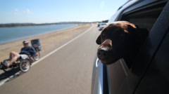 A chocolate lab sticks his head out as a recumbent bicyclist goes by Stock Footage