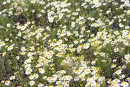 Stock Photo of a clove of chamomile in spring daylight macro