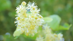 Linden blooms close-up in the nature in summer Stock Footage