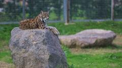 Wild lynx Stock Footage