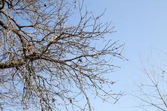bare tree branches against the blue sky - stock photo
