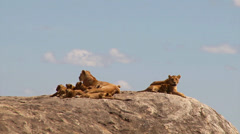 Adorable lion cubs and lionesses pt 1 Stock Footage