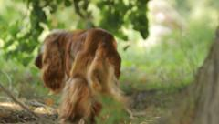 English Cocker Spaniel going away in the rural landscape in summer Stock Footage