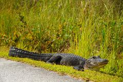 Alligator near highway Stock Photos