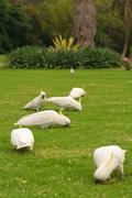 Sulphur-crested cockatoos eating clay to detoxify their food Stock Photos