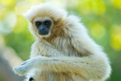 white gibbon ape - stock photo