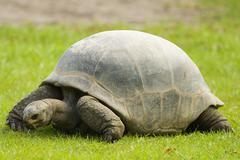 Galapagos giant tortoise eating grass Stock Photos