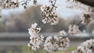 Stock Video Footage of Cherry Blossom Tree with Man Walking in Background