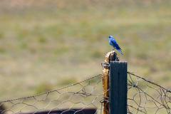 bluebird perching on wooden post - stock photo