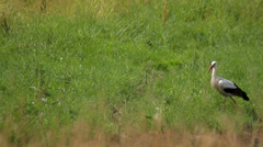 Lonely white stork walking in the field in the country Stock Footage