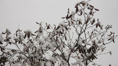 Rhododendron bush covered in snow Stock Footage