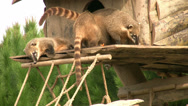 Stock Video Footage of Coati Family 5