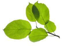 Leaves of apple tree Stock Photos