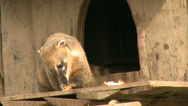 Stock Video Footage of Coati eating fruit