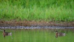 Ducks swimming in pond in the rural landscape. Garganey Stock Footage