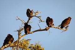 Vultures Stock Photos