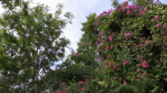 Tropical Tree with Flowers, Thailand Stock Footage