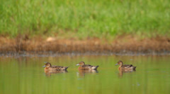 Three ducks swimming in the pond, Garganey Stock Footage