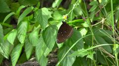 Brown butterfly on yellow flower Stock Footage