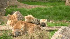 Hyena family Stock Footage