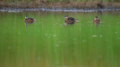 Three ducks swimming in pond in the rural landscape. Garganey Stock Footage