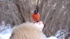The bullfinch is eating on the hand Stock Footage