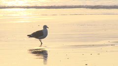 Sunset Seagull Shores 1 Stock Footage