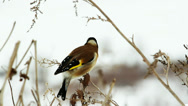 Stock Video Footage of European goldfinch, Carduelis carduelis
