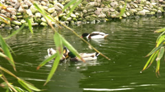 Ducks swiming Stock Footage