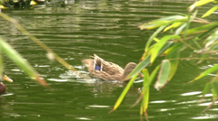 Ducks swiming 2 Stock Footage