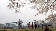 Stock Video Footage of Spring Shot of Japanese Cherry Blossoms Trees
