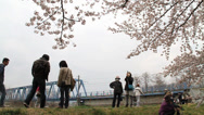 Stock Video Footage of Japanese Cherry Blossoms Trees
