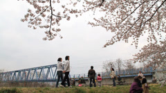 Cherry Blossom Trees Stock Footage