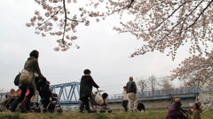Cherry Blossom Trees fully blooming Stock Footage