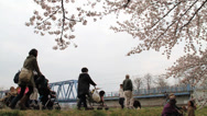 Stock Video Footage of Cherry Blossom Trees fully blooming