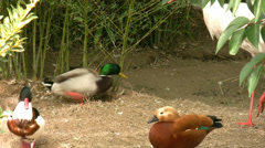 Ducks resting Stock Footage