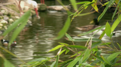 Ducks swiming 3 Stock Footage