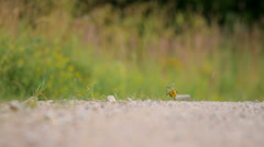 Bird on the road in the wild in summer, Yellow Wagtail Stock Footage