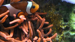 Clownfish with eggs Stock Footage