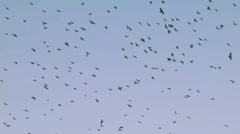 Flock of crows Stock Footage