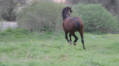 Stallion horse running snorting whickering Stock Footage