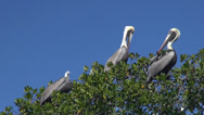 Stock Video Footage of Pelican in Everglades National Park, Florida