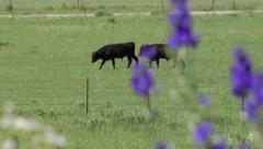 Cattle slow motion prairie wild flowers Stock Footage