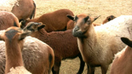 Stock Video Footage of Sheep
