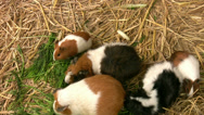 Stock Video Footage of Guinea Pigs feeding