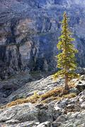 Backlit pine tree, opabin plateau, yoho national park, canada Stock Photos