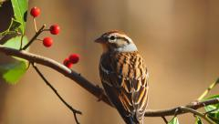 Chipping Sparrow Stock Footage