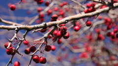 Rowan tree berry Stock Footage