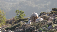 Sheep grazing family herd Stock Footage